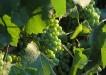 grozdje-1024x768
